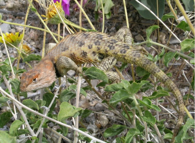 Desert Spiney Lizard - Orangehead