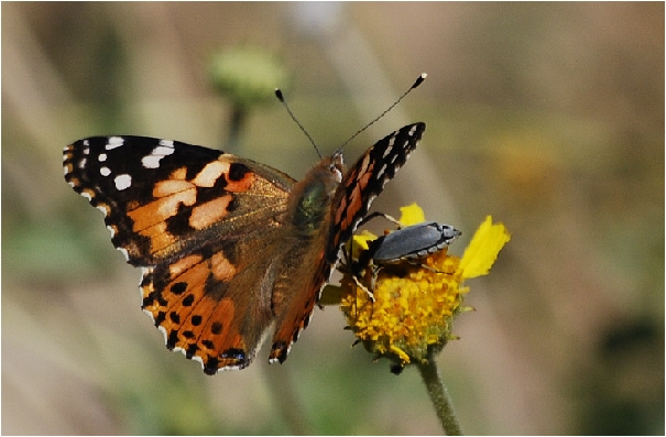 Painted Lady and Creature