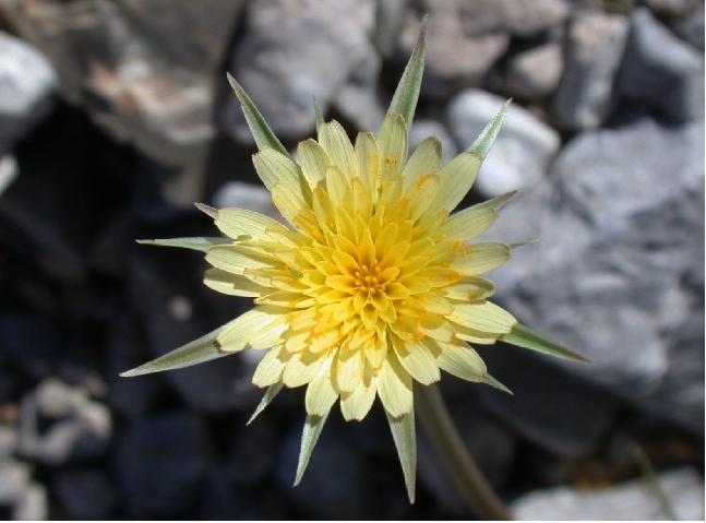 Silverpuff flower