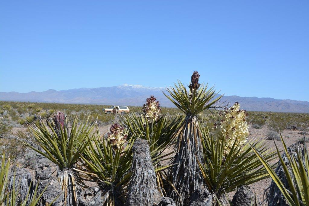 Mojave Yucca - stages.