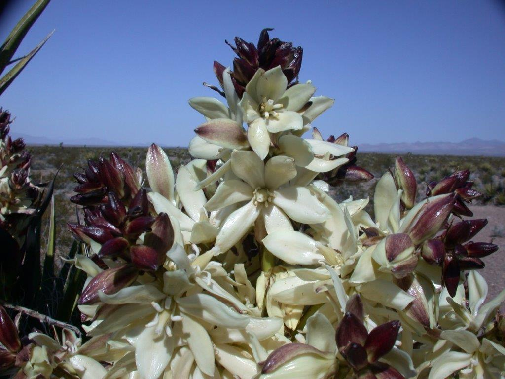 Mojave Yucca flowers.