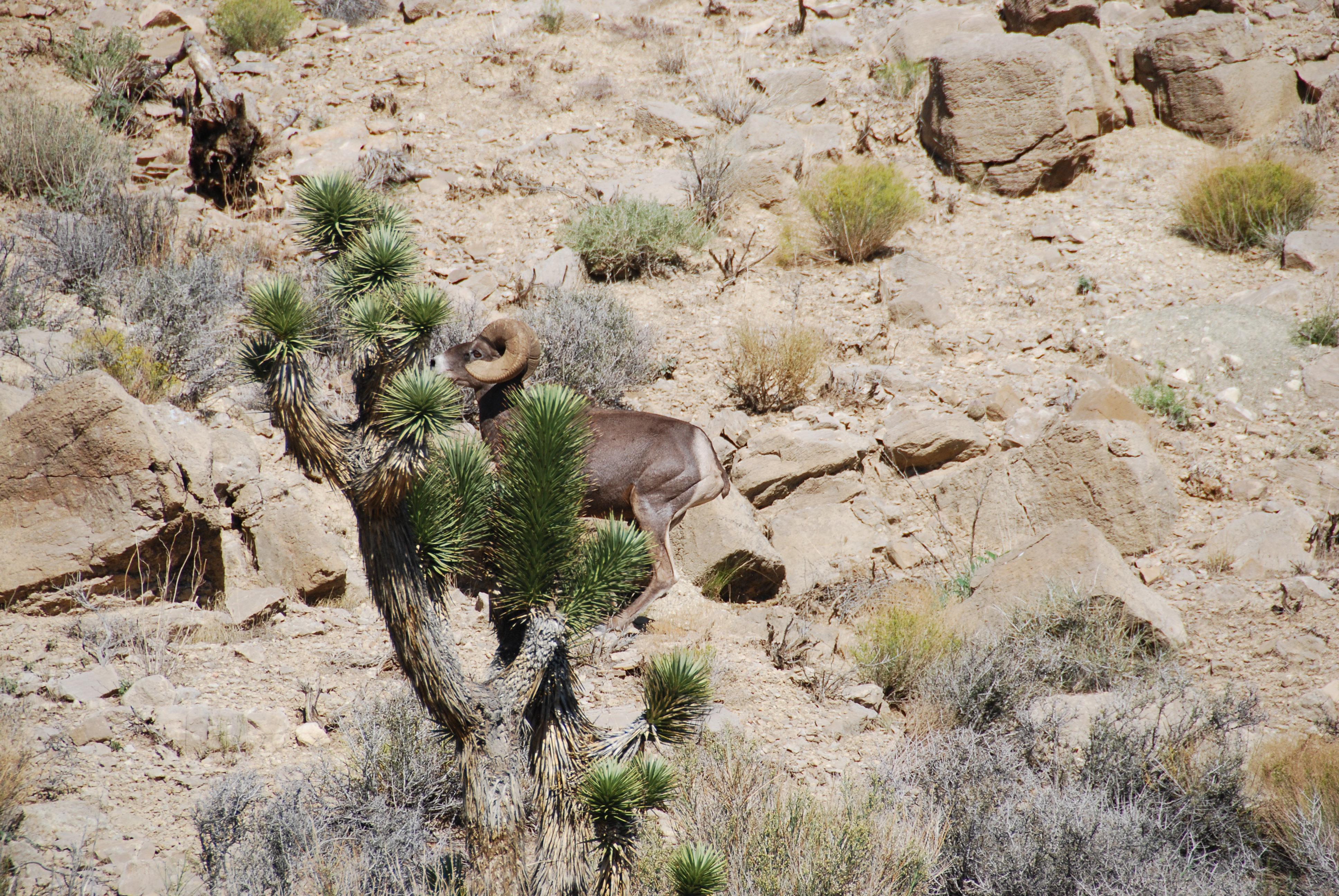 A herd of Desert Sheep